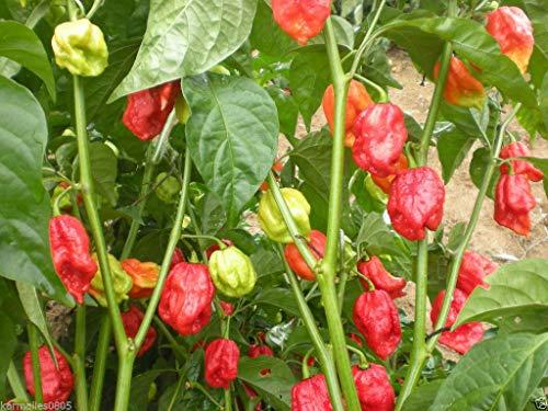 VISA STORE (100) Trinidad 7 pot (7-POD) Jonas Strain graines de poivre