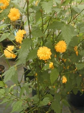 gefüllter Ranunkelstrauch, Kerria japonica Pleniflora 40-60 cm hoch im 3 Liter Pflanzcontainer