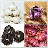 Cioler Seed House - Rare Graines D'ail Biologiques BIO Ail Noir/Ail Rouge Russe/Musique Ail Blanc/Ail Rouge Légumes Graines Hardy