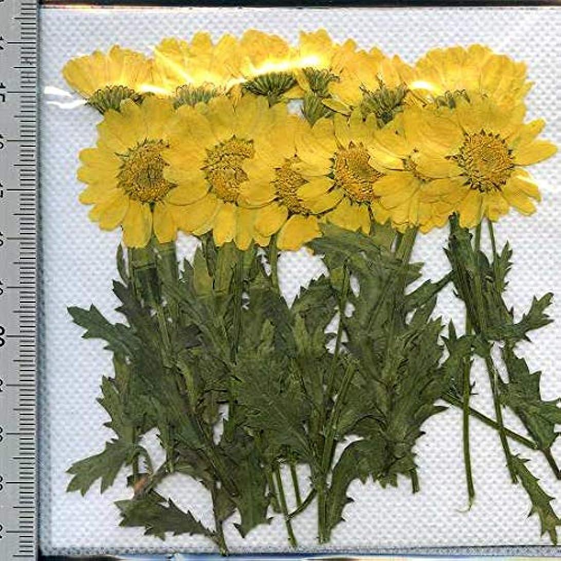 正確に道路を作るプロセスハドル押し花パック 押し花素材材料 【ノースポール】葉茎付き黄色24輪入り