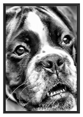 Picati Duitse boxer puppy in schaduwvoegen fotolijst | kunstdruk op hoogwaardig galeriekarton | hoogwaardige canvasfoto alternatief 100x70