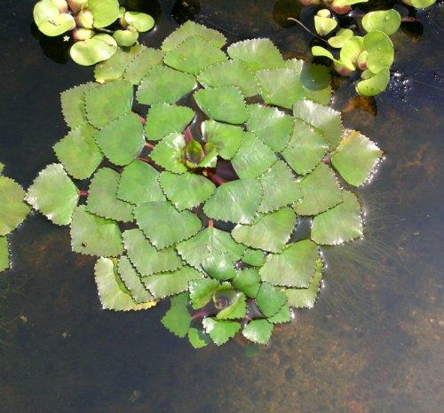 WFW wasserflora Nuss der Einheimischen Wassernuss - Wasserkastanie/Trapa natans