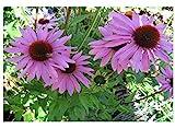 Premier Seeds Direct CT-NRFB-B94M Purpur-Sonnenhut Lila BlumenSamen (Packung mit 150)