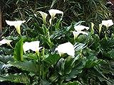 Calla Lily Zantedeschie Zantedeschia aethiopica Florist...