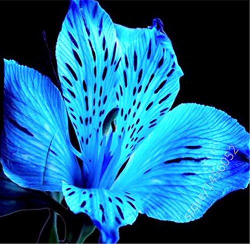5pcs Canna indica seeds.Perennial énorme graines d'herbes en pot de fleurs pour la maison et le jardin brun rougeâtre plant.Lily Variété Bonsai Seed 12