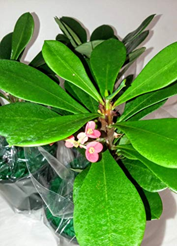 Pink Crown of Thorns Plant - Euphorbia - 4.5' Pot