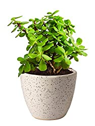 Rolling Nature Good Luck Jade Plant In Round Dew Ceramic Pot