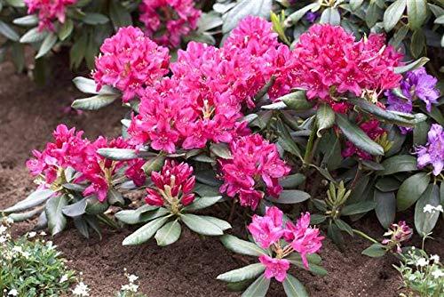 PlantaPro -  Rhododendron Nova