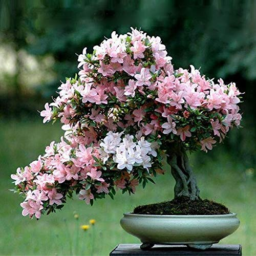 Elwyn 10 Pcs Mini Bonsai Tree Japanese Sakura Seeds