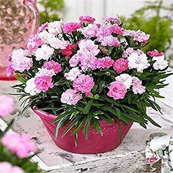 Semillas BloomGreen Co. Flor: Celestial purificador de aire de ...
