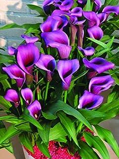 Las semillas del lirio de cala 100 piezas semillas de flores raras (no calla bulbos de lirio), Bonsai Pot planta perenne Flores para jardín Plantar 14
