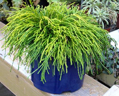 Chamaecyparis pisifera filifera nana - Grüne Fadenzypresse - immergrüne winterharte Konifere 19 cm Topf