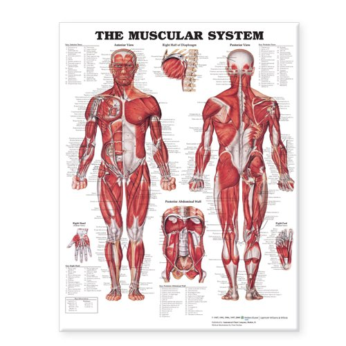 Compare Textbook Prices for The Muscular System Giant Chart Chrt Edition ISBN 9781587799815 by Anatomical Chart Company