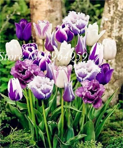 RETS Bonsai 100 PC/Beutel-hochwertiger Bonsai Mixed Tulip Regenbogen-Tulpe Bonsai Blumentopfpflanzen leuchten Ihr Personal Garten: 8