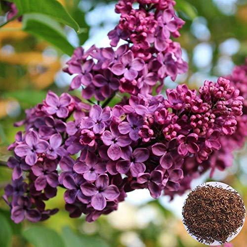 Sytaun 300 Stück Lila Blumensamen Nelke DIY Hausgarten Pflanze Topf Bonsai Dekoration Einfach Zu Pflanzen, Zierpflanze Lila Fliederblumensamen