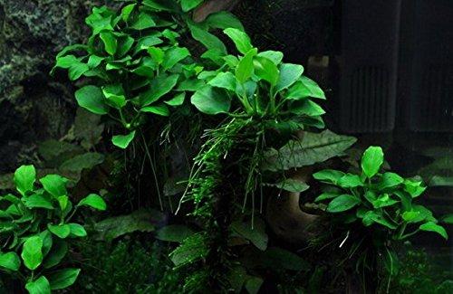 WFW wasserflora XL In-Vitro Kleinstes Zwergspeerblatt/Anubias 'Petite' oder 'Bonsai'