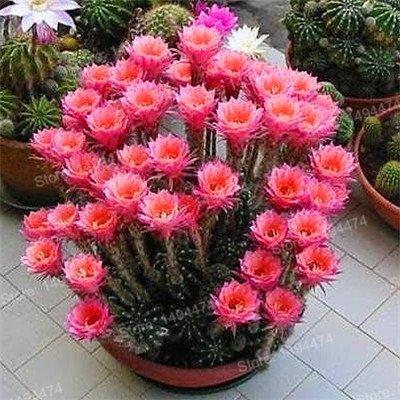 100pcs Big Sale Succulent Plant Graines de Cactus Cactus mixte fleurs ornementales joli jardin Bonsai graines de plantes pour jardin blanc