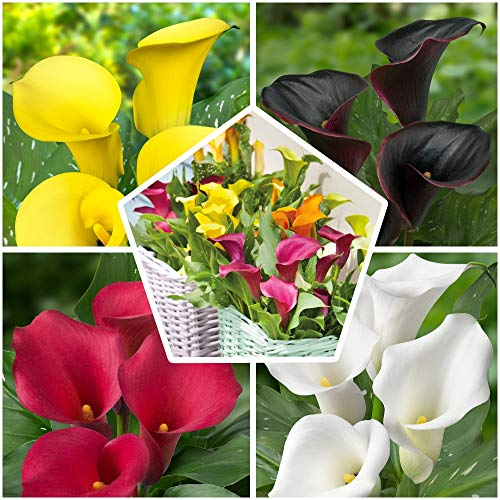 10x Zantedeschia Calla Lilien Zwiebeln Kollektion, 5 Soorten, 2 von jeder Farbe, 10 Zwiebeln Mix, Ideal als Topf- und Gartenpflanze, Blumenzwiebeln Mischung aus Holland (kein Samen)