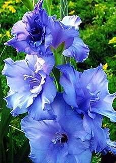 10 Gladiolus Blue Color Flower Bulb Perennials Summer Plant