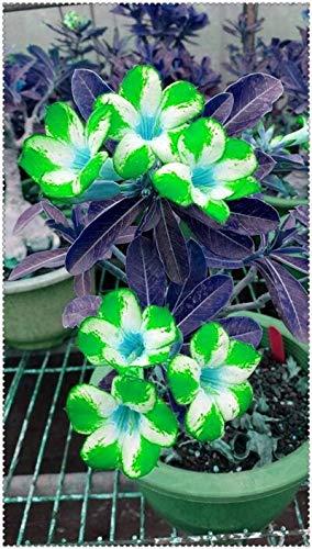 Sump Fresh 2 PCS adenium obesum Desert Rose Semillas de flores para plantar verde blanco