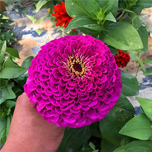 XINDUO - Zweige in Purple, Größe 1000 capsules