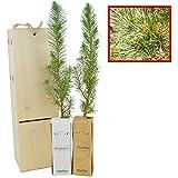 PINO PIÑONERO (pinus pinea) - Pino natural de 30-40...