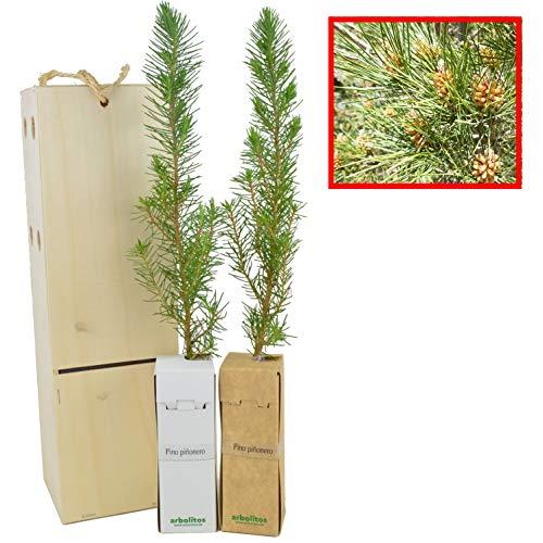 PINO PIÑONERO (pinus pinea) - Pino natural de 30-40 cms de altura. Ideal para transplantar o para regalar(2)