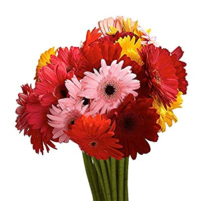 GlobalRose Gerbera Daisies 20 Stems of Assorted Color- Fresh Flowers for Delivery from Globalrose