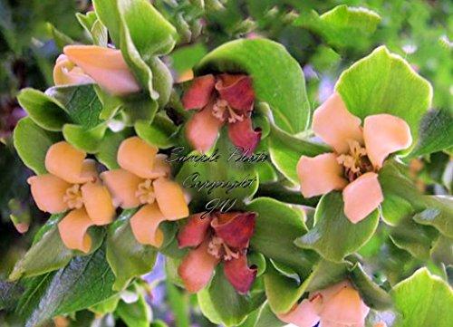 Graines Diospyros plaqueminier kaki Fruit Tropical Multi Use + plante Bonsai (10 graines)