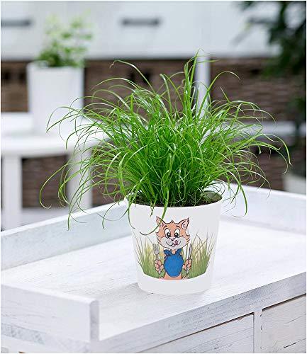 BALDUR Garten Katzengras, 1 Pflanze Cyperus alternifolius zur Verdauungsunterstützung von Katzen Zimmerpflanze