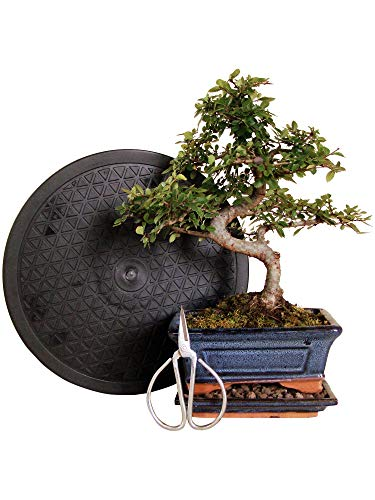 Anfänger Bonsai-Set Ulme - 4 teilig - ca. 30cm hoher Ulmen-Bonsai, 1 Schere, 1 Untersetzer, 1 Arbeitsdrehteller mit 25 cm Durchmesser