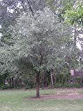 Live Oak Tree - 2 Year Old 4-5 Ft Tall - Bob Wells Nursery