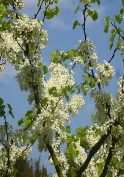 TROPICA - Arbre de Judée - blanc (Cercis siliquastrum alba) - 50 graines- Magie tropicale