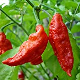10 Bhut Jolokia Ghost Pepper Seeds - Red Organic Hot Chili Vegetable Seed