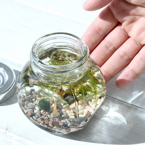 (熱帯魚 水草)私の小さなアクアリウム ゴールデンアカヒレボトルセット ~マリモとウィローモス~(1セット)説明書付 本州・四国限定[生体]