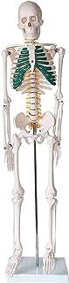 Menselijk Skelet Model, Menselijk Skelet Model, Sternum Kleurplaten Schedel Model Specimen Geschikt voor Medisch Onderwijs...