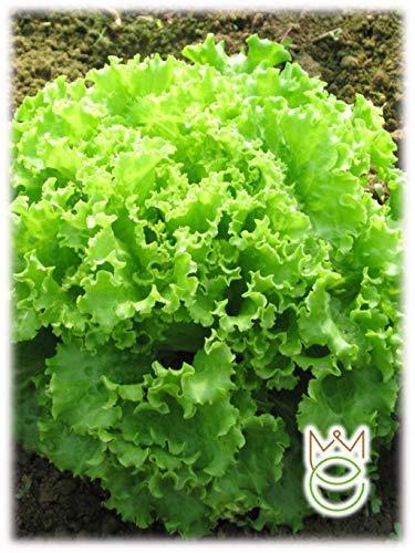 Lechuga de hoja rizada verde Lactuca sativa Semillas Semillas Hortalizas Huerto