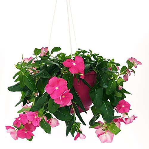 Péndula rosa intensa de baloncesto 20 cm, plantas auténticas
