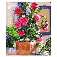 Vamsha Nature Care Live Camellia Flower Plant in Pot best for Outdoor
