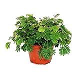 Exotenherz - Mimose'Rühr-Mich-Nicht-An' - Die Pflanze, die auf Berührung reagiert - 9cm Topf
