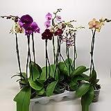 Phalaenopsis 50 cm 1 Trieb - Orchideen - Topforchidee
