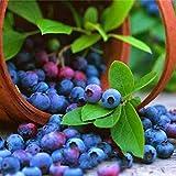 OIYINM77 Bonsai perenne Mini arándano Semillas Bonsai Semillas de plantas al aire libre Frutales