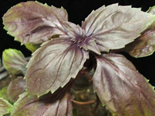 100+ Graines de Purple Opal basilic bio ~ cuisine Épice, Plante aromatique des plantes rares Culinaire