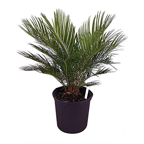 Cycas revoluta, King Sago Palm, Cycad - Large - 8-10 Inch Pot (3 Gallon), Live Indoor Plant