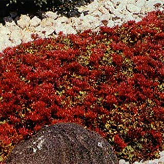 Best red succulent ground cover Reviews