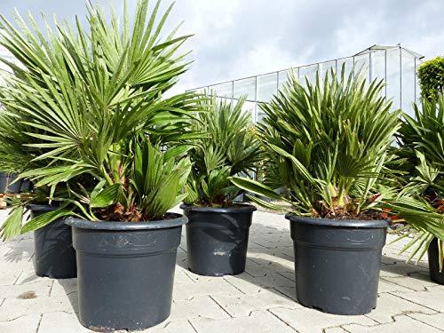 Palme 'Vulcano' 60 cm Zwergpalme Chamaerops Humilis, winterhart bis -12°C