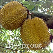 durian fruit tree