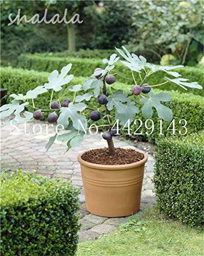 Pinkdose 50 Stücke Seltene Tropische Feigen Bonsai Mini Feigenbaum Bonsai Pflanze Seltene Obstbaum für Zuhause Pflanzen Keimen sementes frutas: 7