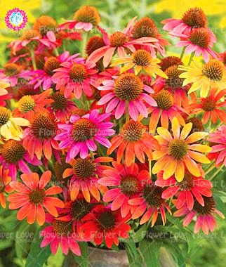 50PCS Rare orange Graines Echinacea vivace Graines de fleurs échinacée Showy Beaucoup-doublé capitules Plante en pot pour le jardin 3