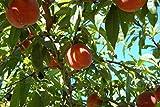 Live Plant - Belle of Georgia Peach (YNKS) Tree - Semi Dwarf - Healthy - 1 Gallon Pot - 1 Plant,...